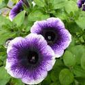 12940   Purple and White Petunias in Summer Garden