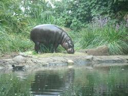 12644   Pygmy Hippo