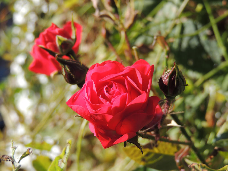 <p>Red Rose growing in the UK</p>