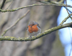 16883   A robin sat in a tree