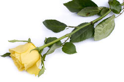 12911   Single yellow rose symbolising love and romance
