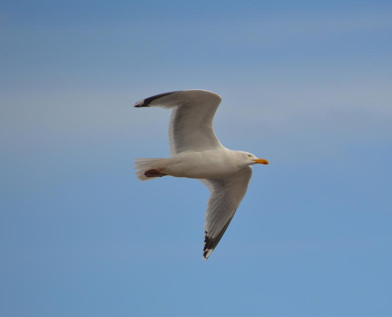15566   Seagull flying