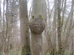 12551   smiling tree