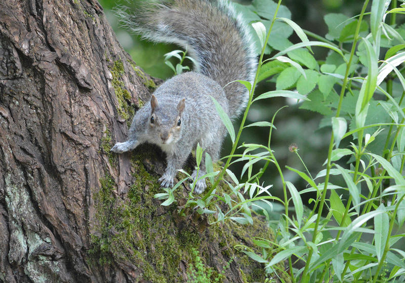<p>A wild Grey Squirrel in the UK</p>