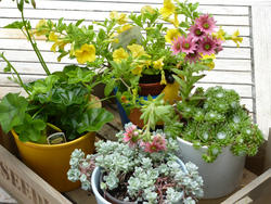 12941   Small wooden crate filled with assorted pot plants