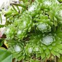 12942   Assorted succulent plants growing pots