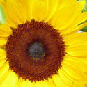 12945   Macro image of a bright yellow sunflower