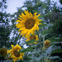 17048   Tall sunflower