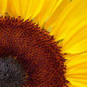 12946   Sunny Sunflower with Bright Yellow Petals