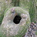 12558   surprised hollow in tree