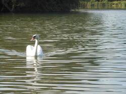 12559   swan swimming