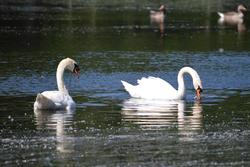16896   Two white swans on a like