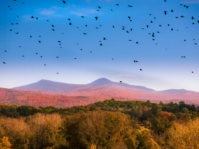 <p>Black birds flying above the Autumn Vermont countryside.&nbsp;</p>