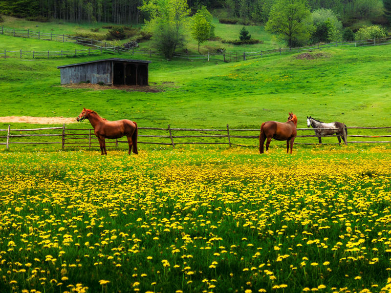 <p>Three horses in the meadow of spring Dandelions.</p>