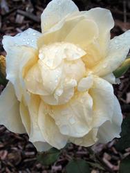 16969   wet yellow rose