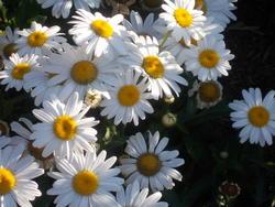 16961   White Daisy In The Sun