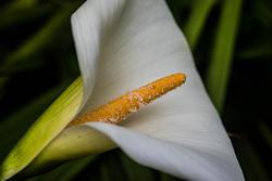 12610   white lily