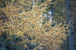 11872   Close up of coniferous tree in autumn