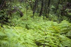 11875   Green fern in forest