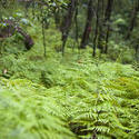 11875   Green fern in forest