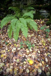 11876   Green fern bush and autumnal foliage on the ground