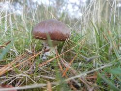 12601   woodland mushroom 1
