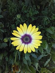 17028   Yellow Daisy