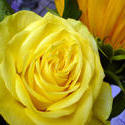 12912   Gorgeous vivid fresh yellow rose