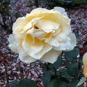 16970   yellow rose rain