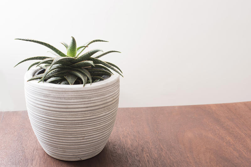 Aloe plant growing in a decorative white textured pot standing on a wooden table indoors with copy space