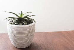17389   Aloe plant growing in a decorative white pot