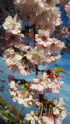 17521   beautiful cherry blossom portrait