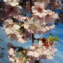17521   beautiful cherry blossom portrait