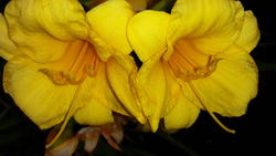 17497   A beautifull yellow lilie