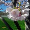 17520   cherry blossom tree