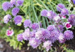 17223   Colourful purple chive flowers growing in a garden