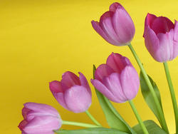 17332   Pink tulips on yellow background with copy space
