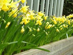 17345   Easter planter box filled with yellow daffodils