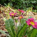 17348   Pretty yellow and red primulas growing in woodland