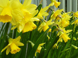 17351   Yellow Spring daffodils growing in a planter