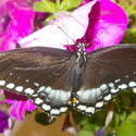 17488   A Black Butterfly