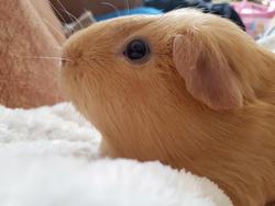 17108   guinea pig