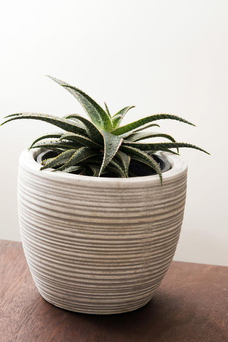 Potted ornamental aloe houseplant in a ridge white flowerpot on a table indoors in a home