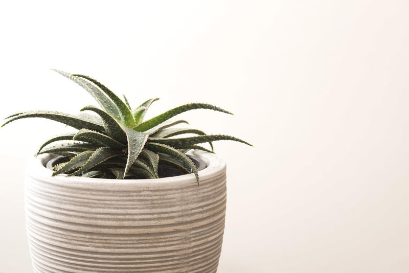 Isolated potted aloe plant over a white background in a close up cropped view with copy space