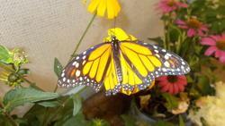 17490   Monarch Butterfly