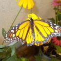 17490   Monarch Butterfly
