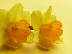 17358   Two colorful yellow fresh cut daffodil flowers