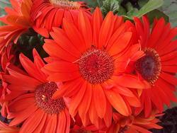 17541   Orange Dasises