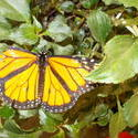 17487   Monarch Butterfly