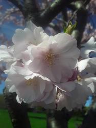17518   pink cherry blossom